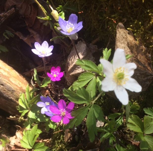 Blå og sjokkrosa blåveis og ein einsleg kvitveis. Foto: E. Almhjell.